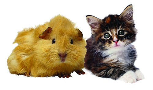 photo of guinea pig and kitten on white background